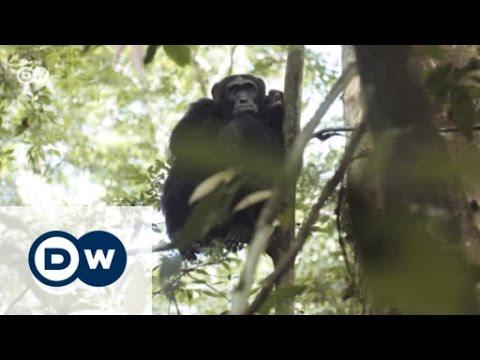 Ein neues Zuhause für Schimpansen | Global 3000
