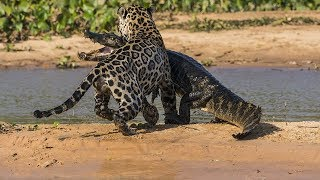 The attack Of Animals -  The Crocodile Attacks Cheetah