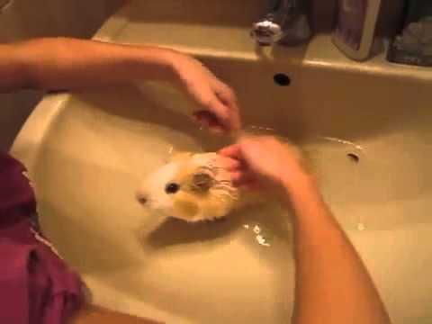 Спаривание морских свинок в домашних условиях