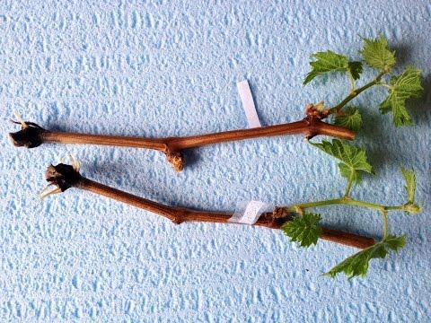 Укоренение черенков винограда в воде