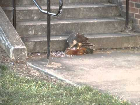 Rooster Kills Hawk Cooper Hawk Eating Rooster at