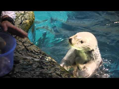大アサリを食べて貝殻を返すラッコのナダ