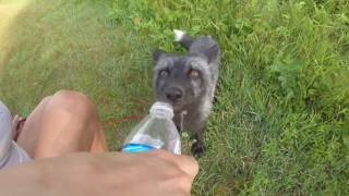 Wild Fox Comes Over for a Drink