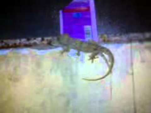 Lizard Sex.3gp video
