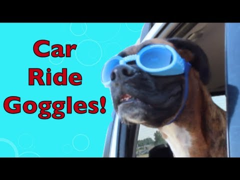 Brock the Boxer Dog: CAR RIDE GOGGLES!!!