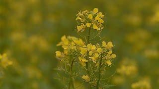 A zöldtrágya növények őszi bedolgozása