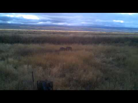Mule Deer fighting, Malheur National Wildlife Refuge