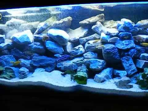 malawi aquarium 150x50x60 pseudotropheus elongatus chailosi youtube. Black Bedroom Furniture Sets. Home Design Ideas