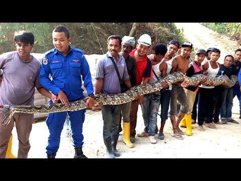 GIANT SNAKE CAUGHT IN MALAYSIA