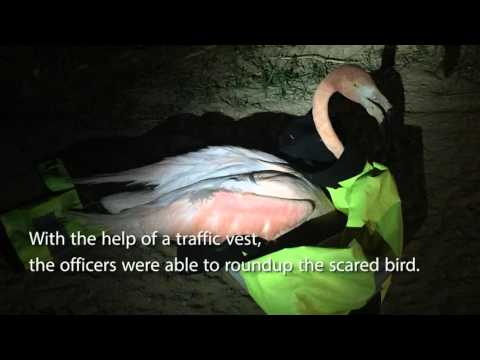 Hialeah police officer wrangles lost flamingo running through traffic