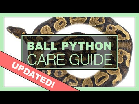 Complete Ball Python Setup & Care Guide   UPDATED VERSION