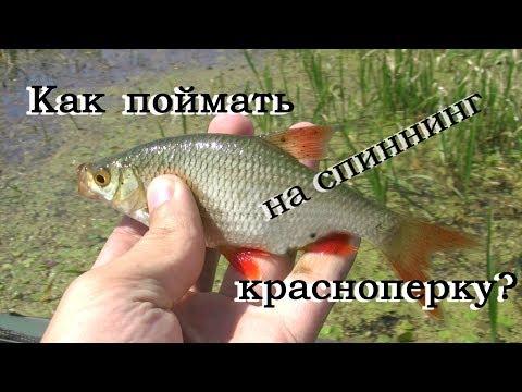 видео как поймать красноперку