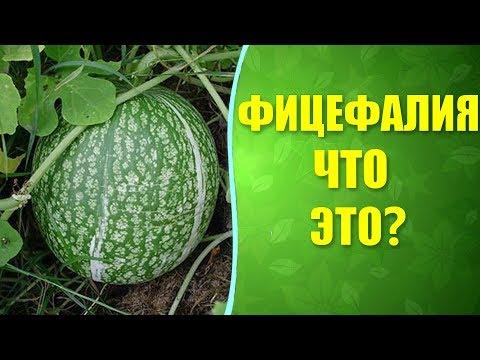 🌱 Фицефалия - фиголистная тыква. Что за плод фицефалия (фицифолия)?