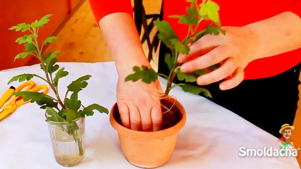 Выращивание хризантем из черенков из букета 31