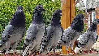 Jack Bowden tipplers pigeon UK