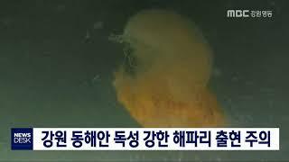 투/강원 동해안 강독성 해파리 출현 주의