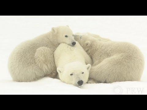 Protecting Alaska's Arctic Marine Mammals | Pew
