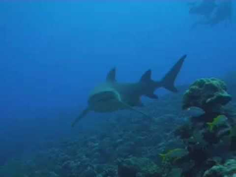 Scuba Diving With Sharks in Tahiti