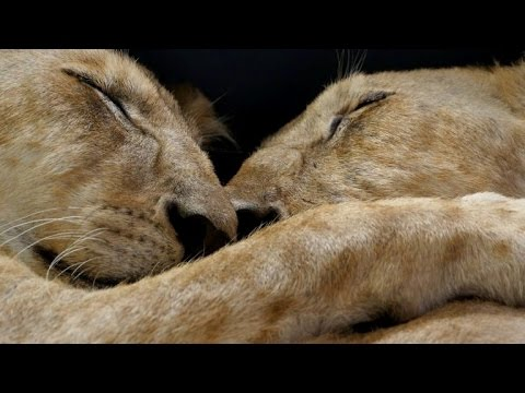 Lion Cubs Cling Together During Rescue from Gaza Refugee Camp