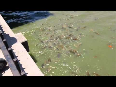 Weird Fish Behavior off of Dock in Abilene, Texas
