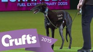 Display by Retired Greyhound Trust   Crufts 2015