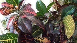 Planta Croton - Hojas de Varios Colores
