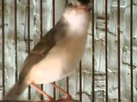 burung ciblek kliik.. Klik.. Ciblek sawah