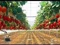 Cara Budidaya Strawberi Tanpa Musim Panen Cepat Dan Buah Besar Kualitas Ekspor