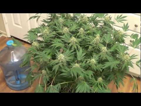 """Cannabis """"Grow for Broke"""" Week 7 of flower"""
