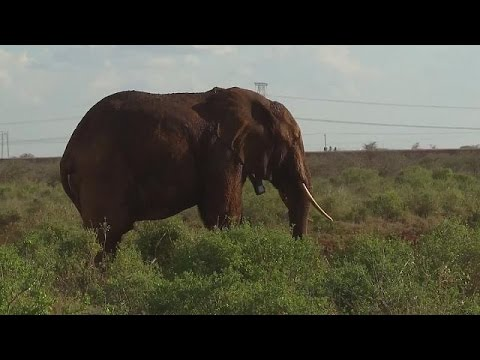 Kenya'da fillere özel yapılan alt geçitler - science