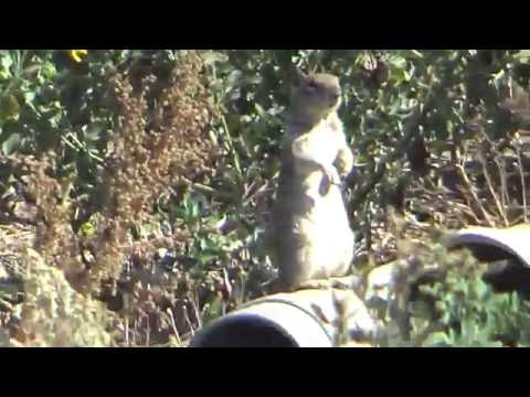 BT65  30 cal Carnivore Ground Squirrel Hunting