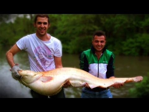 ALBINO CATFISH 170cm A SPINNING  -  MANGIATA IN DIRETTA  (team Pegs)