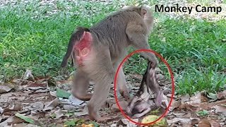 RIP! Newborn baby monkey was dead,Mom monkey sad baby monkey gone away, Monkey Camp part 432