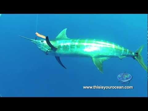 Massive Mako Shark Surprises Diver and Blue Marlin!