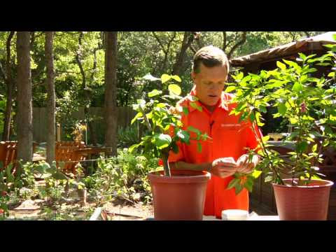 Gardening Tips : Planting Hibiscus Video