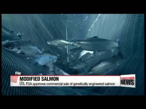 U.S. FDA approves genetically modified salmon for human consumption   미 FDA, 유전자