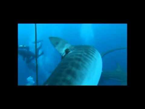 Tiger Sharks Plays