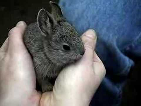 Baby pygmy rabbits at ...