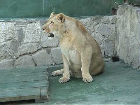 Жизнь больших кошек в Ялтинском зоопарке Сказка
