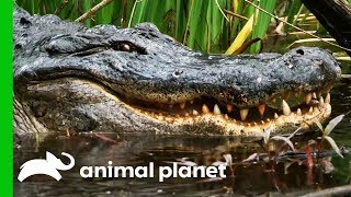 Catching A Massive Gator In A Mississippi Swamp | Gator Boys