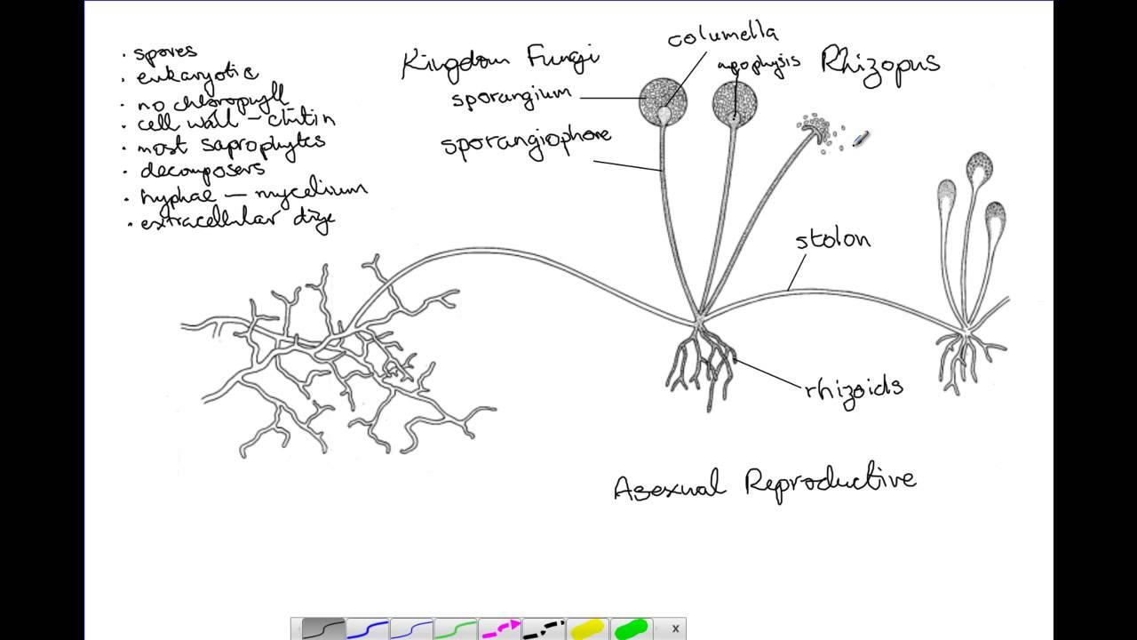 Rhizopus Reproduction - YouTube