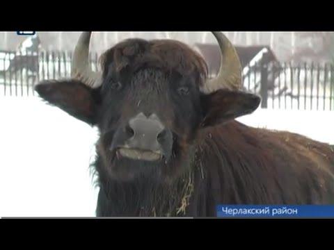 Буйволы поселились в Омской области