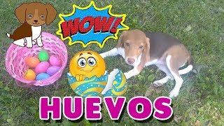 ¡Reto a Mi Perrita Dana a Recolectar Huevos De Colores! Funny Dogs