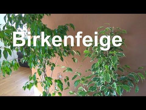 Birkenfeige pflegen Standort gießen düngen vermehren Ficus benjamina