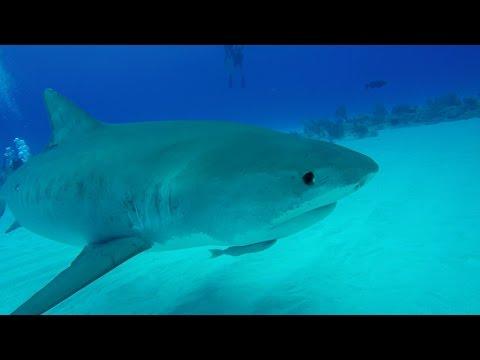 Shark Curiosity Tiger Sharks June2016