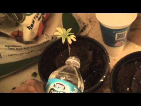 Godbody Transplanting His Sick Cannabis Plants Part #2