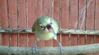 Perawatan Burung Pleci Mabung