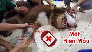 Mật đi hiến máu cứu bạn và phát hiện Mật mắc bệnh lạ