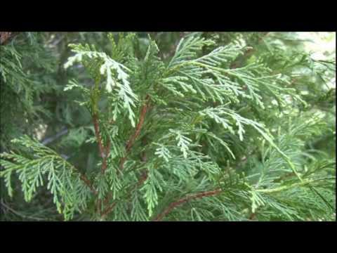 Header of Alaska-Cedar