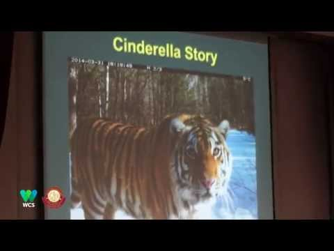 Using Science to Inform Conservation of the Amur Tiger by Dr. Dale Miquelle (Summary)